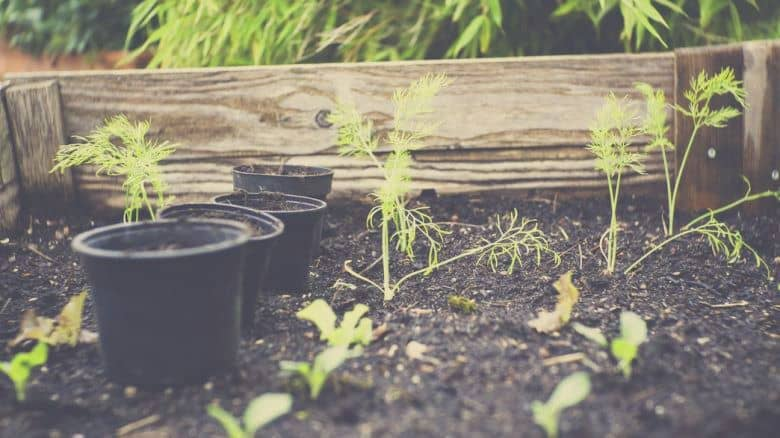 herbs growing in a raised bed