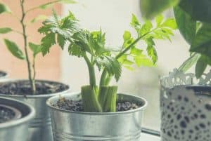 Celery plants growing in stainless steel pots next to a window